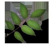 Ask løv med 7 blad