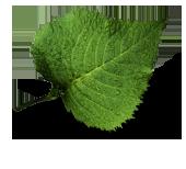 Bilde av et bjørkeblad