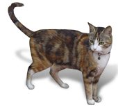 Bilde av en katt, en vanlig årsak til allergi (pelsallergi)